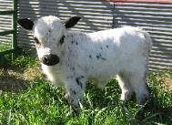 Mini Cow.  I want!!! he would fit great in my back yard in town lol!
