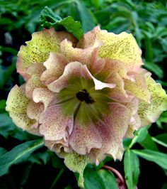Hellebore with frilly skirts. Enjoy the Hellebores in my novel in In Bloom: https://sites.google.com/site/sophiechalmersbooks/home