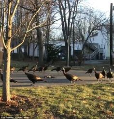 A spooky video of a rafter of turkeys circling a dead cat was uploaded to Twitter on Frida...