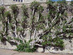 fig tree in a fan shape. Fully grown in The art of espalier-- growing on one plane. http://www.gardenaction.co.uk/fruit_veg_diary/figs.asp