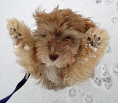 "Grady the Havanese Mix-He says, ""pick me up, I'm cold!"""