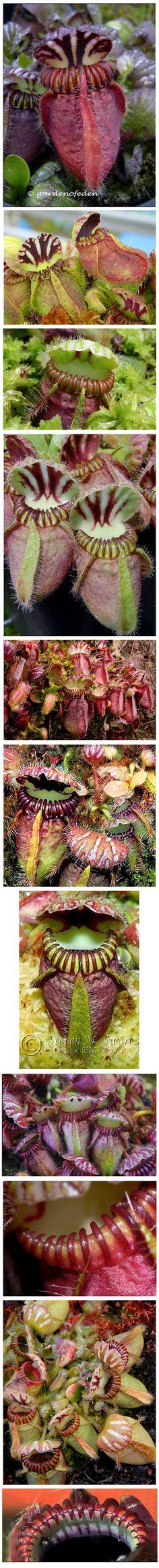 Cephalotus sp. Carnivorous Plants