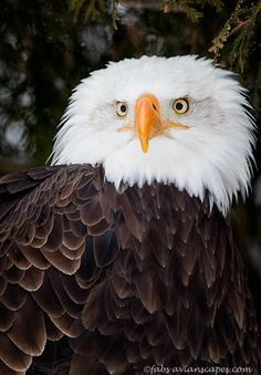 there has been an eagle flying about my farm; would love to capture a photo...:)