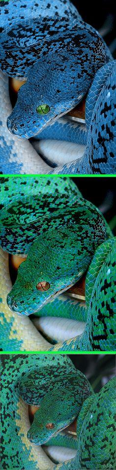 Fake - Blue Tree Python - The bottom image is the original of a Green Tree Python. Thanks I.P.--- you rock!!