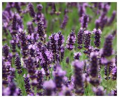 Lavender Dreams - Beningbrough, North Yorkshire.  Love this close up -- can almost smell it...