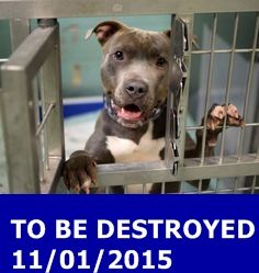 GONE 11-1-2015 --- Brooklyn Center  My name is CENA. My Animal ID # is A1056216. I am a male gr brindle and white am pit bull ter mix. The shelter thinks I am about 2 YEARS  I came in the shelter as a STRAY on 10/28/2015 from NY 11236, owner surrender reason stated was ABANDON. http://nycdogs.urgentpodr.org/cena-a1056216/