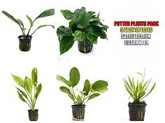 Live Plants 66794: 5 Potted Live Aquarium Plants Bundle Anubias, Amazon Sword, Kleiner Bar, Narro BUY IT NOW ONLY: $36.99