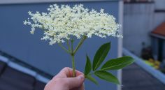 How to identify Elderflower flowers and leaves - great for elderflower champagne, cordial, jellies!