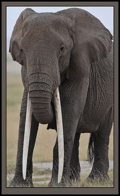 Tusker Queen. This is such a beautiful female elephant with incredible tusks. It makes me worry for her since elephants are killed for their ivory. God bless her and keep her safe!
