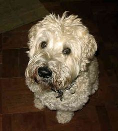 Image detail for -Wheaten Terrier Rescue