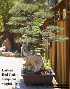 This Bonsai tree is a sturdy, resilient tree making it perfect for beginners. The limbs can be bent and twisted when young and forced into odd shapes for an appealing bonsai. Juniperus virginiana makes a goregous miniture tree.