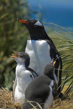Gentoo penguin with chicks in nest (Pygoscelis papua) Falkland Islands