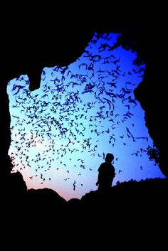 A colony of wrinkle-lipped free-tailed bats leaving a cave in Thailand. Credit Merlin D. Tuttle/Bat Conservation international