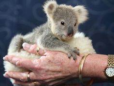 Cute koala joey Louise drops from her tree into a chicken coop during the storms   DailyTelegraph