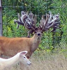 Freak Show Bucks: A Hard Look at Breeding For Antlers You are in the right place about Mammals print Interesting Animals, Unusual Animals, Rare Animals, Animals Beautiful, Animals And Pets, Funny Animals, Whitetail Deer Pictures, Pics Of Deer, Big Deer