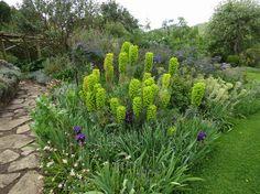 Euphorbia Characias Ssp Wulfenii Half Mei gele Border
