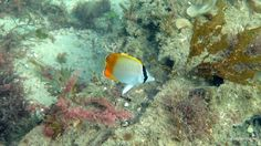 Gunther's butterfly fish  - Chaetodon guentheri
