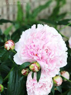 Peony Care, Hydrangea Care, Organic Gardening, Gardening Tips, Indoor Gardening, Vegetable Gardening, Bloomstruck Hydrangea, Outdoor Christmas Planters, May Garden