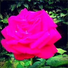 Pink rose, spring.
