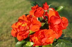 Dragon's Breath - Ludwigs Roses   'Dragon's Breath' was the name suggested by the flaming-fiery-orange of the semi-double blooms on this new, super-strong floribunda. It grows neatly upright to head height and is covered by shiny, dark green foliage. This Eco-ChicTM variety may stand proudly on its own as a focal point in a garden, and is ideal for planting as a screen or to hide an unattractive wall or fence.