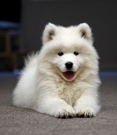 """Love samoyeds.  """"Don't know how I lived without you Cuz everytime that I get around you I see the best of me inside your eyes You make me smile......""""  (From """"Smile"""" by Uncle Kracker)"""