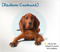 Redbone Coonhound Puppy Dog