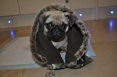 "Stylish pug:  ""Whatcha know bout rockin the wolf on your nogin Whatcha knowin about wearin a fur fox skin""!"