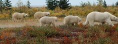 Churchill Wild | Polar Bear in the Wild - Manitoba Canada