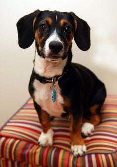 Dachshund Beagle Mix   Dog Breeds WallpapersDog Breeds Wallpapers