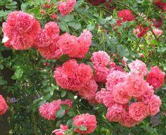 -neuer Gartentraum- Rosarium Uetersen