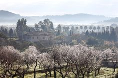 Experience Almond-Blossom Season in Mallorca  The Mediterranean climate of Mallorca, the largest island in the Balearic Islands archipelago, makes it ideal for growing almonds. (Photograph by Martin Siepmann/Getty Images)