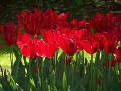 Keukenhof Gardens - RED the color of LOVE