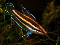 Parosphromenus sp. 'Sentang',