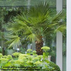 Palmier+de+Chine+-+Trachycarpus+fortunei+pot+de+30L