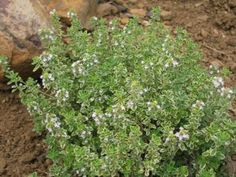 P-Thymus citriodorus 'Silver Queen'