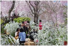 Lost in the blossoms of a Kyoto springtime