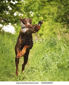 Hunting #Doberman