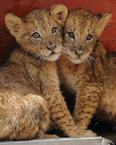 Leones bebés, de dos meses, en una habitación especial de Kenia Wildlife Services, en Nairobi