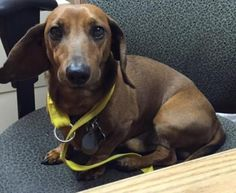 Meet Dino, the handsome #Dachshund boy! Mister Dino was surrendered to us after his one and only owner passed away. He is used to a quiet home. He behaves well with other #dogs and people, but might flourish better in a home without children. http://www.doggielife.com/dino/dogs/BR1E9L