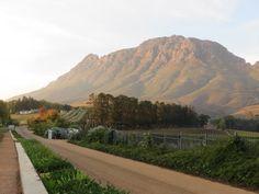 Vineyards at Thelema, Helshoogte Pass, Stellenbosch