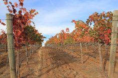 Our Fair Play Farms Vineyard Fall 2014. El Dorado County, Calif.