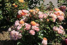 Роза полиантовая Бордюр Камае (Bordure Camaieu® delcapo) Delbard 2001 Посадка 2010 года.
