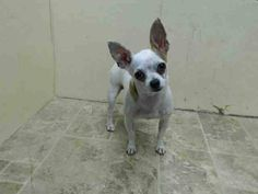 Brooklyn Center TINKA - A1009326 FEMALE, WHITE, CHIHUAHUA SH MIX, 5 yrs STRAY - STRAY WAIT, NO HOLD Reason STRAY Intake condition NONE Intake Date 08/05/2014, From NY 11208, DueOut Date 08/08/2014, https://www.facebook.com/Urgentdeathrowdogs/photos/pb.152876678058553.-2207520000.1407453768./850013561678191/?type=3&theater