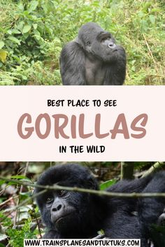 Best place to see gorillas in the wild: How to decide where to gorilla trek