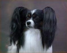 Papillon Dogs