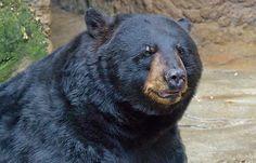 Ursus americanus (Foto: Greg Hume)