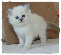 "Kitten Heilige Birma blue-tabby-point ""Avantasias Kissy"""