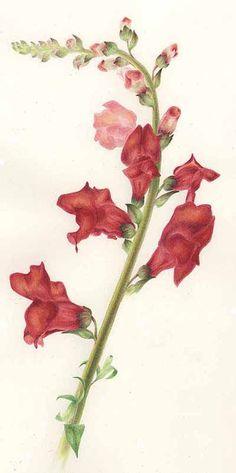 Snapdragon Botanical Print. - Vintage Bouquet