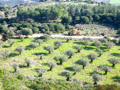 Olive Field, Mount Carmel, Israel