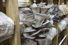 The King Blue Oyster grows easily, but has the rich meaty texture the King Oyster is loved for. It's great for making profit selling mushrooms. Grow Your Own Mushrooms, Growing Mushrooms, Grow Room, Fungi, Along The Way, The Expanse, Oysters, Lab, How To Make Money